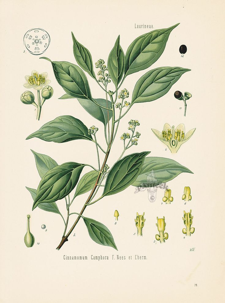 Camphor Tree Cinnamomum Camphora From Antique Herbal Prints Of Nutmeg Sassafr Botanische Illustration Botanische Abbildungen Botanische Zeichnungen