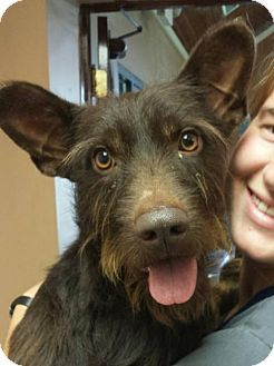 Taneytown, MD - THE LAST RESORT - Standard Schnauzer Mix. Meet Watson, a dog for adoption…