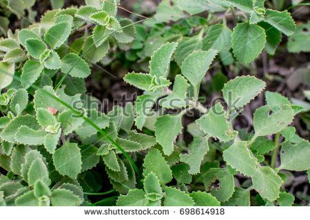 Coleus Amboinicus also known as Plectranthus amboinicus and Ajwain Leaf