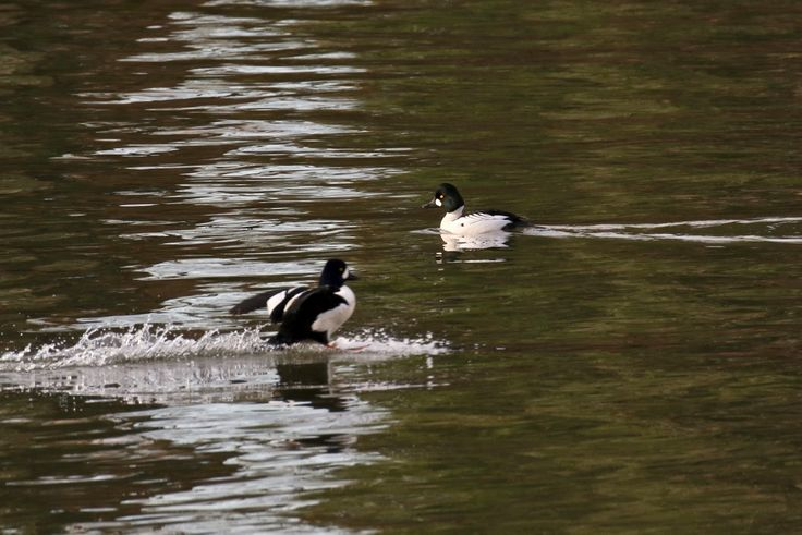 Goldeneye ducks in the Fraser River Estuary. Click image to enlarge.