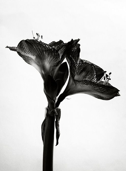 Unique Edition - Black and White Photography Gloria Wong | Artist Hong Kong | Fine Art | Floral photography | Chinese Ink | Flower Nature | Garden | Black and White | Museum glass | Archival inkjet print Hahnemühle | Chinese Contemporary Art | Asian Contemporary Art