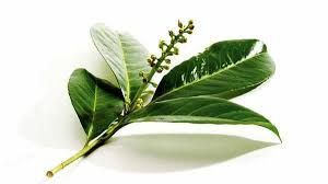 пряное растение, ароматная пряность, лавровый лист