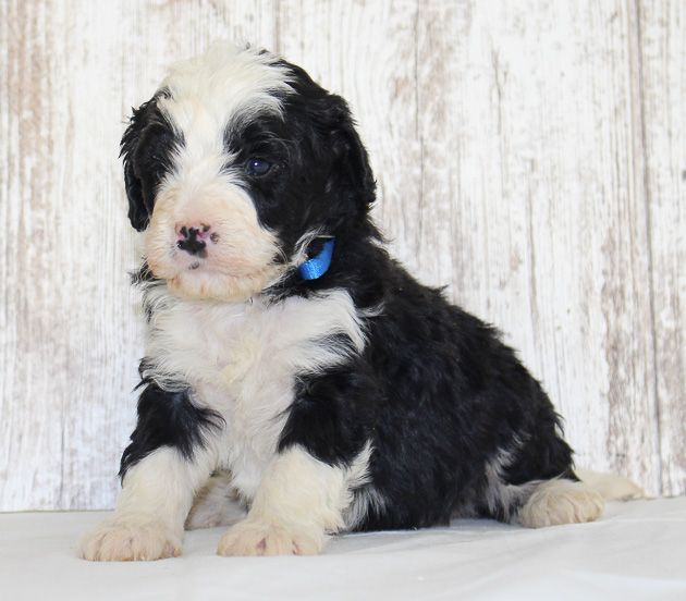 Joey A Male Mini Bernedoodle Puppy For Sale In New Haven In Find Cute Bernedoodle Puppies And Responsible Berned Puppies For Sale Bernedoodle Puppy Puppies