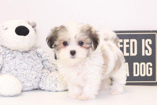 Zuchon puppy for sale in NAPLES, FL. ADN-28907 on PuppyFinder.com Gender: Female. Age: 9 Weeks Old