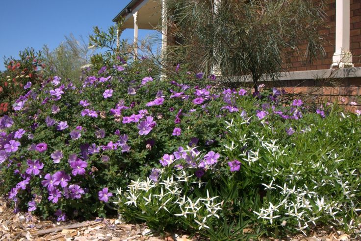 Alyogyne 'Blue Heeler' and Clematis 'Southern Stars'