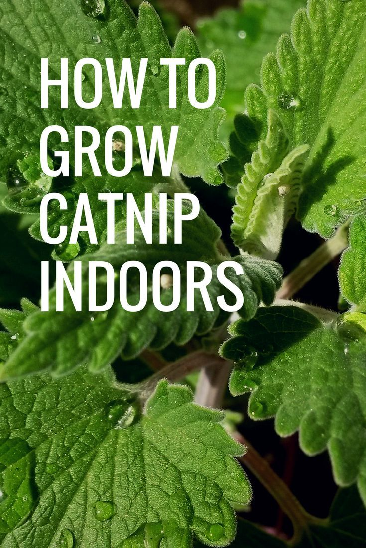 How To Grow Catnip Indoors Live With Liana Of Growing Catnip Catnip Plant Catnip