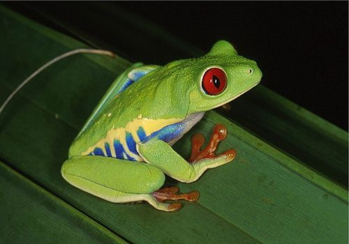 Red-Eyed Tree Frog | Tree Frog Care Sheet Can You Last Long With a ...
