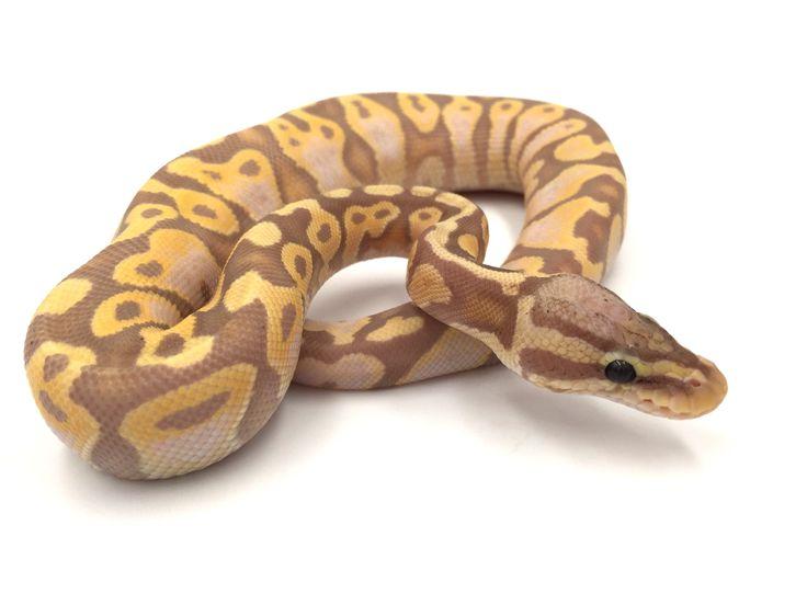 Python regius pastel banana