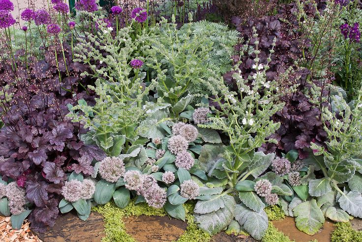 Allium karataviense and Salvia sclarea, purple Heuchera and Allium for a gray silver and purple garden color theme using perennials and orna...