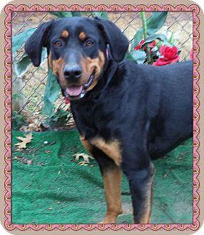 Marietta, GA - Doberman Pinscher Mix. Meet LACY a Dog for Adoption.