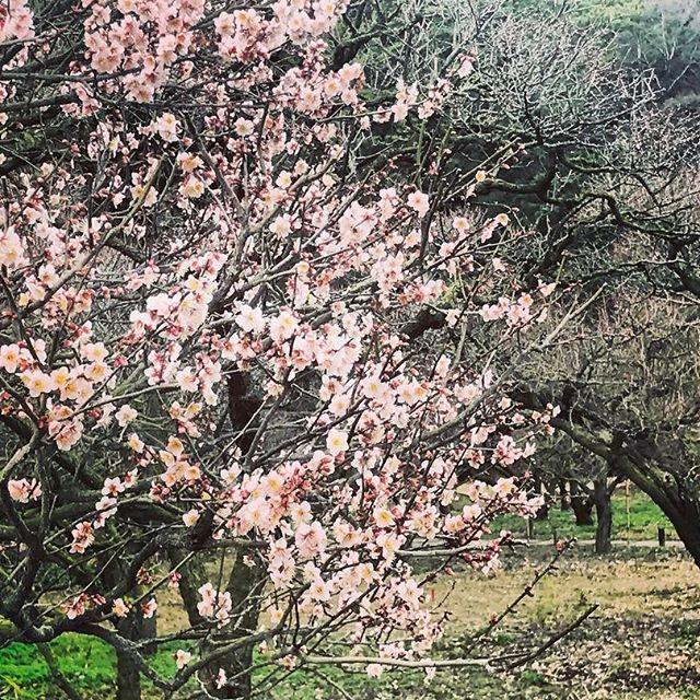 【yubibinba】さんのInstagramをピンしています。 《ちょっと早いけど咲いてたよ🌸  もうすぐ春だなんて 長崎離れて4ヶ月だなんて 考えられないくらい あっという間だったなー。  おいちゃんに 会いたーーい!!! 会わせてください😩しゅん  #香川 #高知 #旅行 #グルメ #ビール #鯉 #橋 #温泉 #旅館 #桜 #梅 #料理 #会席 #豪華 #おしゃれ #酒 #池 #庭園 #日本庭園 #cafe #和 #お昼ごはん #栗林公園 #公園 #自然 #絶景 #大食い #写真 #風景 #景色》