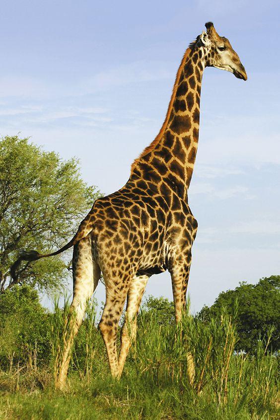 Tolle Aussicht auf und für diese Giraffe | © Lion Sands Private Game Reserve
