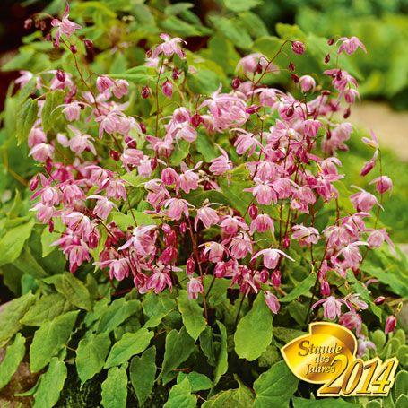 Rosa Elfenblume - Schattenpflanzen