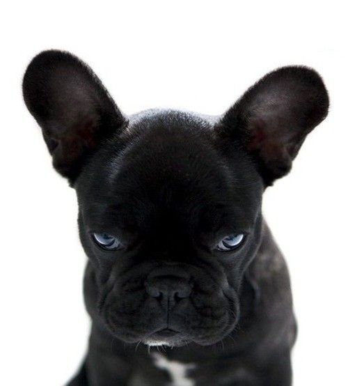 glare: Animals, French Bulldogs, Frenchbulldogs, Pets, Puppy, Friend, Eye