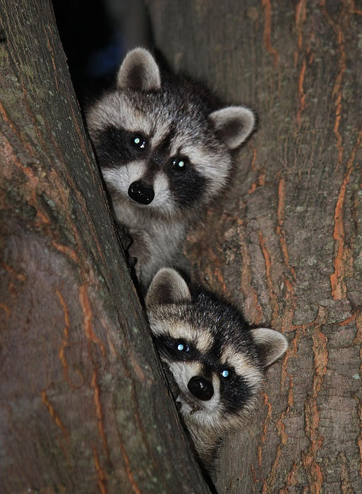 17 best images about rocky raccoon your favorite bandit for Do raccoons eat fish