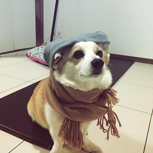 #コーギー #しっぽありコーギー #秋仕様 #愛犬
