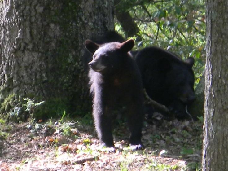 Image result for PA black bears