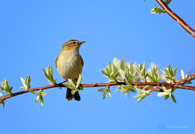 Common chiffchaff (Phylloscopus collybita / Pitulice mica)