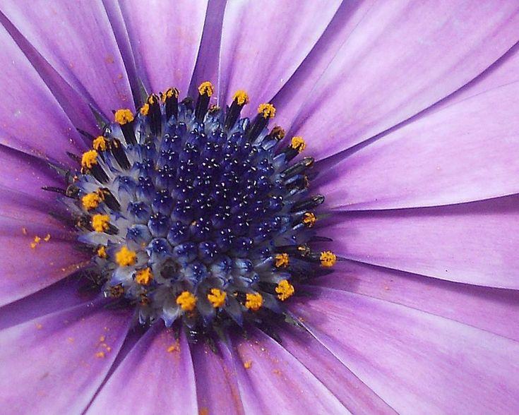 The heart of a daisy by marilenavaccarini