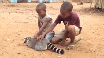 "gifsboom: "" Lemur loves his back scratches. """