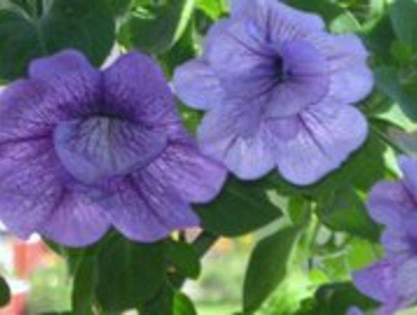 Petunia eller Surfinia? Den i bilden är en 'Surfinia', ett gruppnamn på småblommiga petunior, den heter Petunia Surfinia-serien + ev. sortnamn.  Petunia brukar numera delas in i olika undergrupper t.ex. Grandiflora-, Multiflora-, Pendula- och den nämnda Surfinia-gruppen. För att förvirra till det ytterligare så har Carillon- och Million Bells-serierna fått ett eget släkte, Calibrachoa.