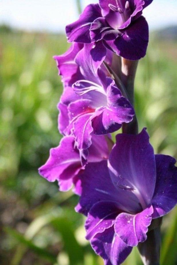 Beautiful Purple Gladiola Gladioli Gladioli Meaning Gladiolus Gladiolus Flower Summer Flowering Bulbs