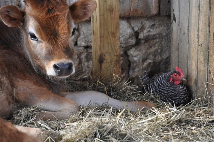 Sweet Country Life ~ Simple Pleasures ~ Cozy and safe, together in the barn