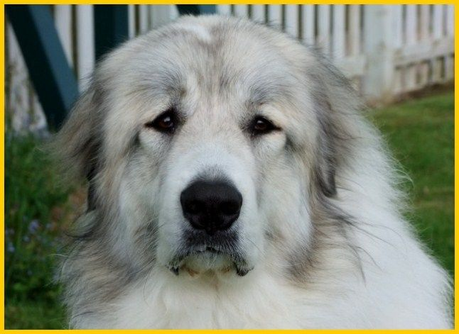 puppy? Penellcy Pyrenean Mountain Dogs