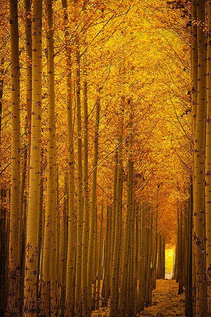 ~~Golden Alley ~ autumn forest of poplar trees, Boardman, Oregon by Dan Mihai~~
