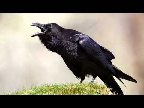 ▶ Raven ~ bird call - YouTube