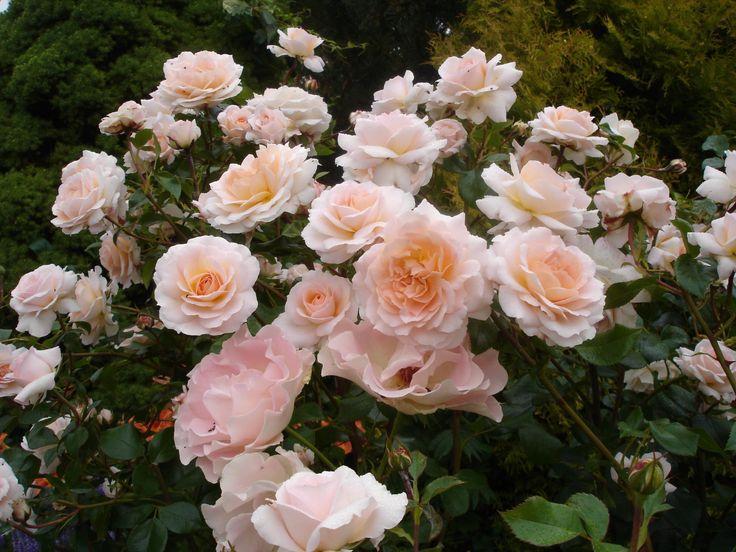 781 best pink roses images on pinterest pink roses. Black Bedroom Furniture Sets. Home Design Ideas