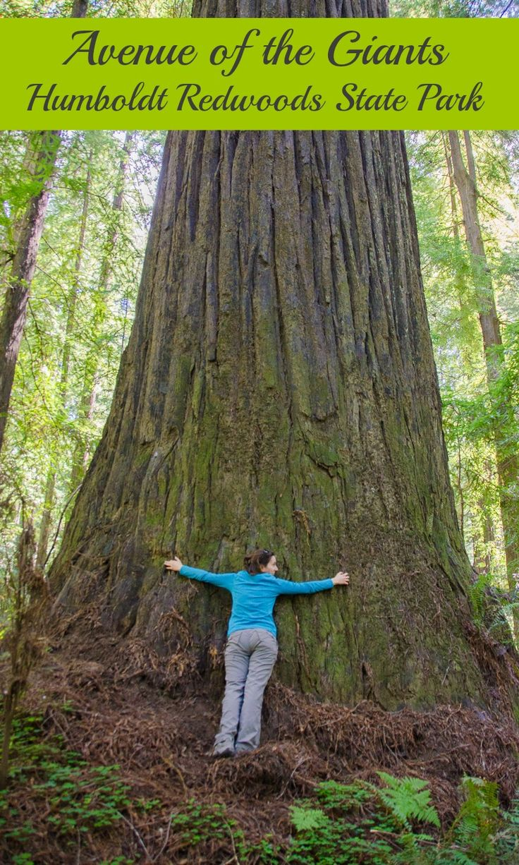 """See some of the biggest trees in the world on the """"Avenue of the Giants"""" in Northern California's Humboldt County. A great place to go camping!"""