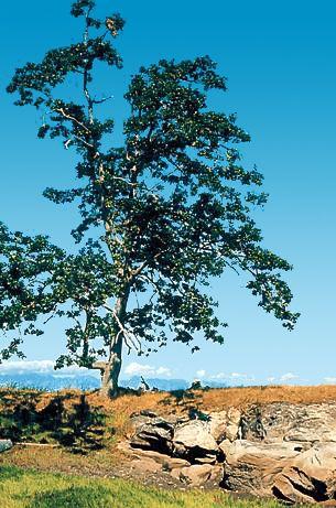 Quercus garryana - Garry oak