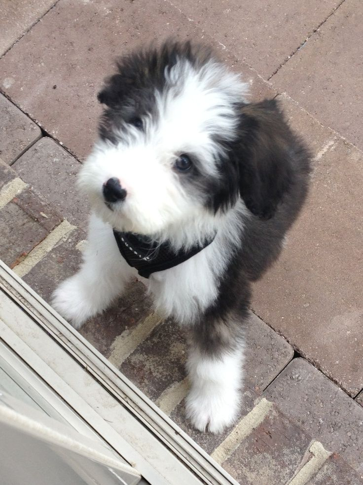 Sheepadoodle (Sheepdog-Poodle mix) Info, Miniature, Puppies, Pictures