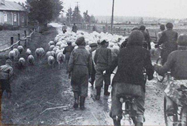 Lampaita Kauppi Rapinojan -kohdalla – Pohjola Kilta