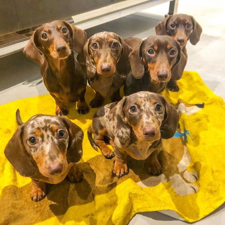 Pin By Faith Nicole On Puppies In 2020 Dachshund Puppy Weenie