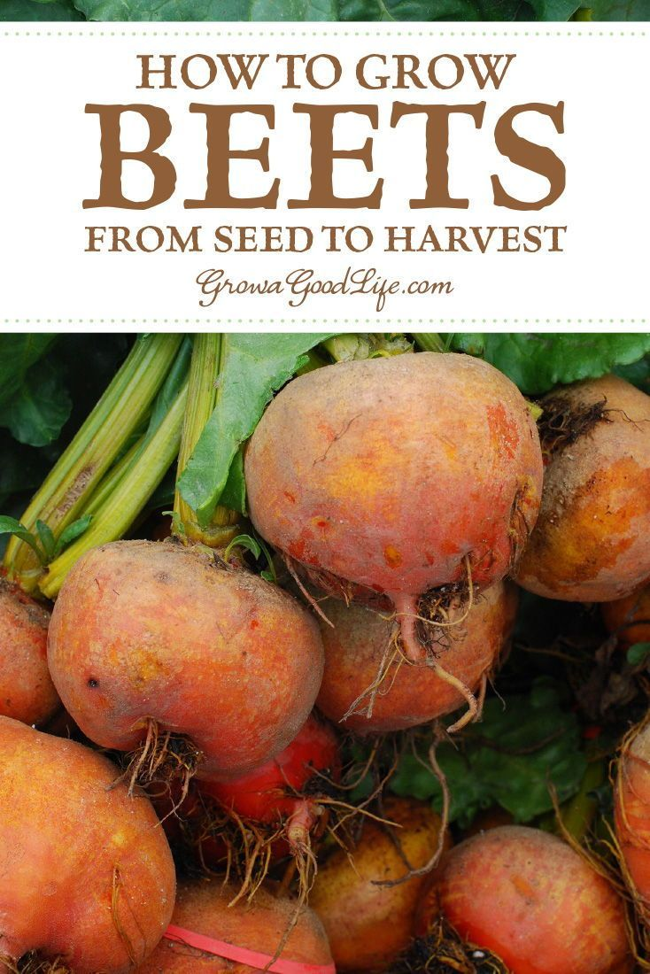 How To Grow Beets From Seed To Harvest Growing Beets Planting Vegetables Backyard Vegetable Gardens