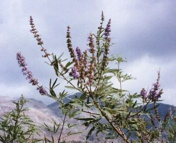http://wildherbsofcrete_com/pages/portraits-of-our-essential-oils-from-wild-herbs-of-crete/vitex-agnus-castus.php
