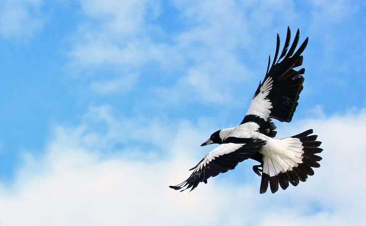 Australian Magpies Photo Gallery – The Magpie Whisperer | The Magpie Whisperer - Sharing My Love & Admiration For Australian Magpies