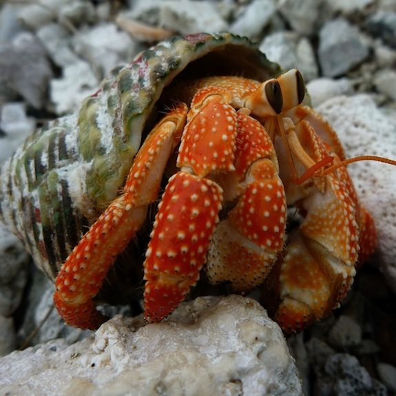 Join the fun with hermit crab races at @Four Seasons Resort Bora Bora. Go, little guy, go!