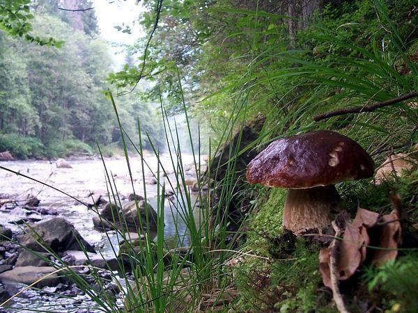 Комплекс семейного отдыха Соколиное Гнездо ждет своих гостей для сбора Карпатских грибов!!! Помимо комплекса услуг также мы покажем Вам, при желании, самые лучшие места для сбора Карпатского белого гриба в лесу рядом с комплексом, научим правильно выбирать и готовить белые грибы. А также предлагаем Вам вкуснейшее меню с белыми грибами. http://sokolyne-gnizdo.com.ua
