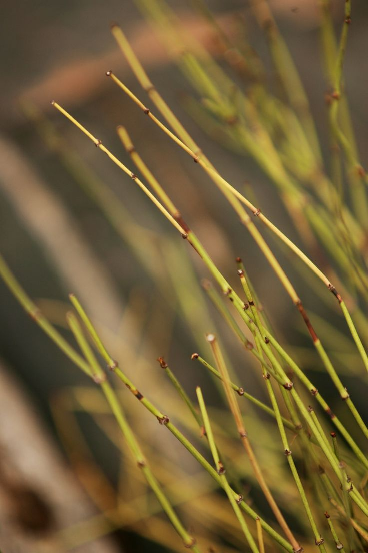 Ephedra - Or Mormon Tea plant as the locals call it.