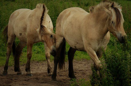 Chevaux, Paddock, Couplage
