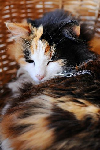 calico cat, sleeping in a basket | pet photography