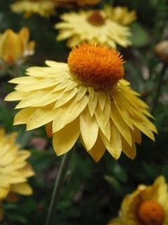 Straw Flowers: Fabulous Flowers, Flowers 3, Flowers 2, Beautiful Flowers, Ahhh Fresh Flowers, Yellow Flower, Flowers Blossoms Trees