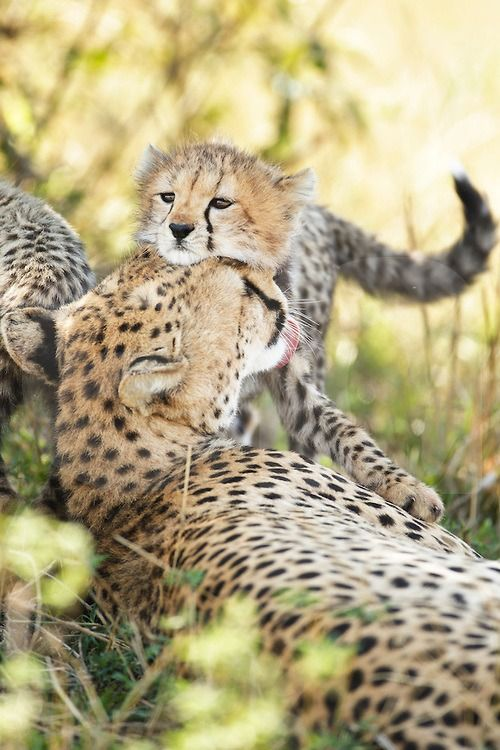 by Elliott Neep Cheetah cub snuggling Mom