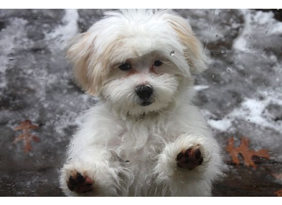 Shih Poo Puppy Grooming How To Care For Your Poodle Mix Puppys Fur