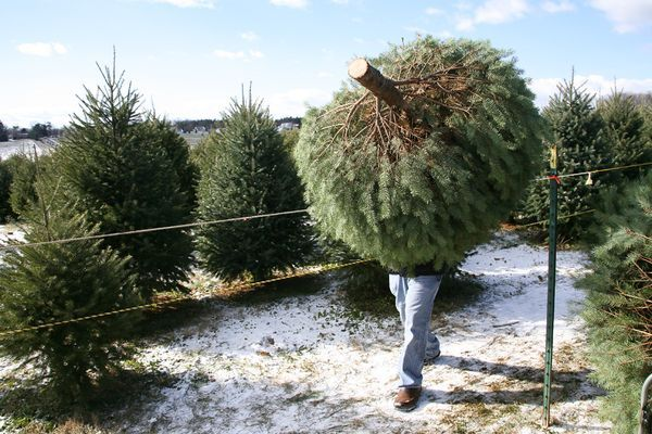 choosing the best tree.  Nothing compares to the fresh cut smell.