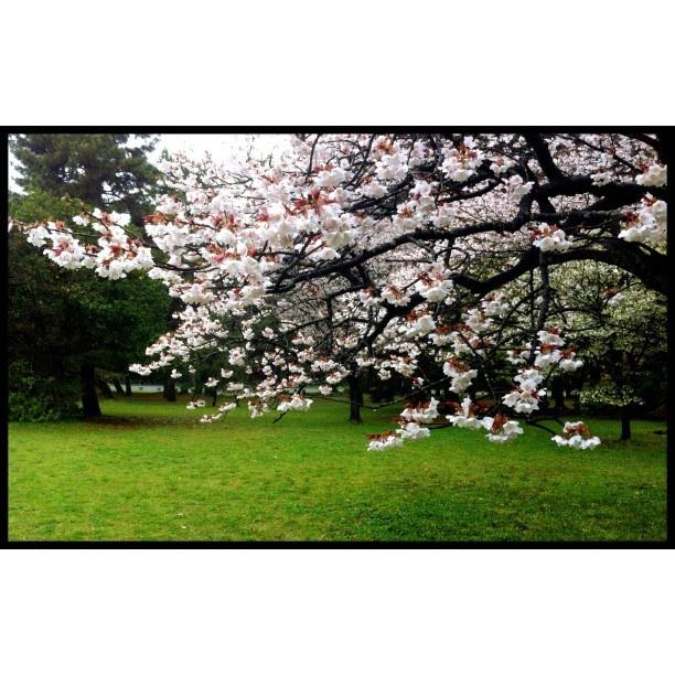 樱花·京都御所 Cherry blossoms in Kyoto Imperial Palace
