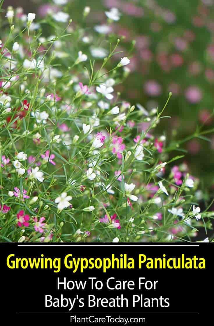 Growing Gypsophila Paniculata Plants How To Care For Baby S Breath In 2020 Baby S Breath Plant Plants Gypsophila